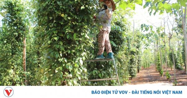 Đắk Lắk lãng phí thương hiệu hồ tiêu Cư Kuin | VOV.VN