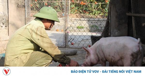 Cà chua bán rẻ không ai mua, nông dân mang về cho lợn ăn | VOV.VN