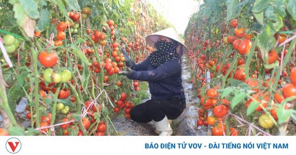 Xót xa cảnh cà chua chín đỏ rụng thối đầy đồng   VOV.VN