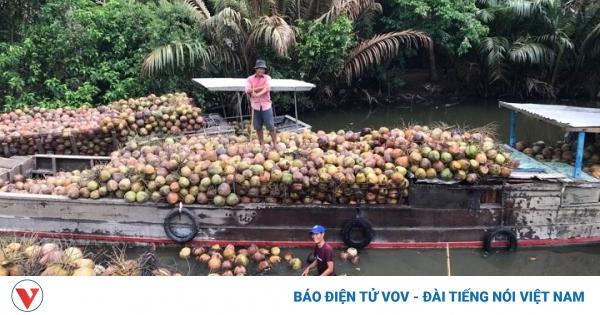 Dừa xiêm xanh đạt giá cao nhất trong vòng một năm qua | VOV.VN