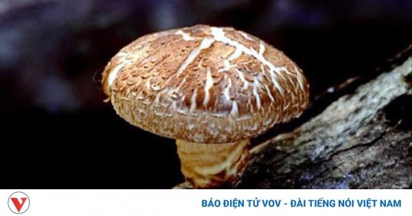 Thuần phục nấm rừng mũ to thu hàng chục tỷ đồng mỗi năm | VOV.VN
