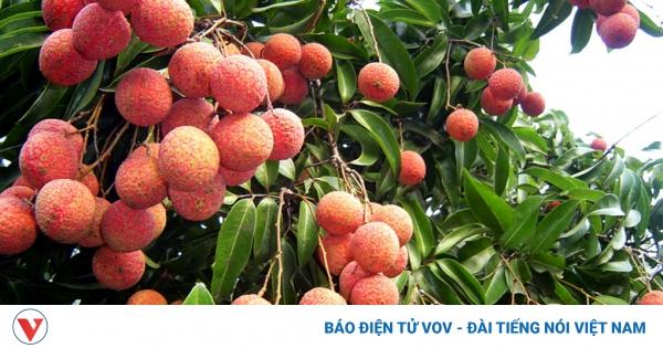 Nhật Bản ủy quyền Việt Nam giám sát vải thiều xuất khẩu | VOV.VN