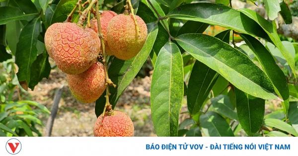 Người trồng vải lên phương án tiêu thụ trong mùa dịch | VOV.VN