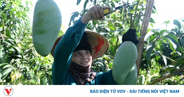 Hàng nghìn tấn nông sản Sơn La đang chờ ngày thu hoạch | VOV.VN